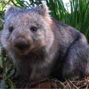 Amazing wombat