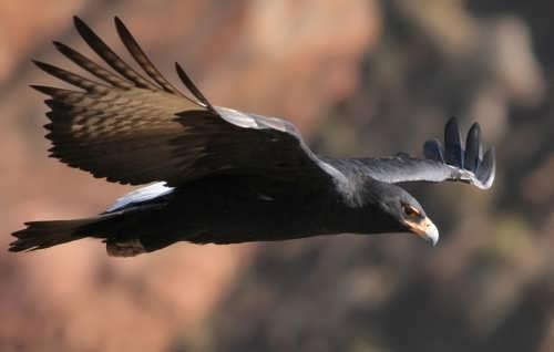 Aquila verreauxii