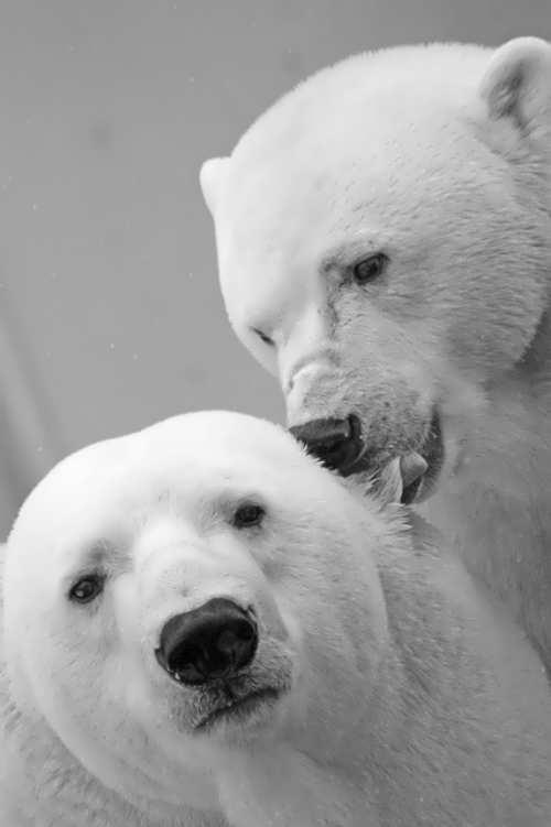 Attractive bears