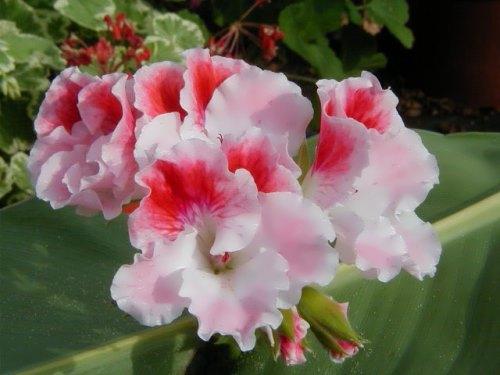 Attractive geranium