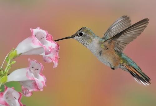 Attractive hummingbird