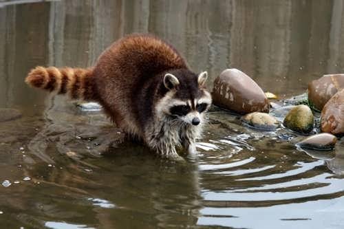 Attractive raccoon