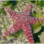 Attractive starfish