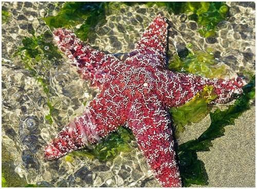 Attractive starfish