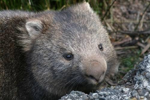 Attractive wombat