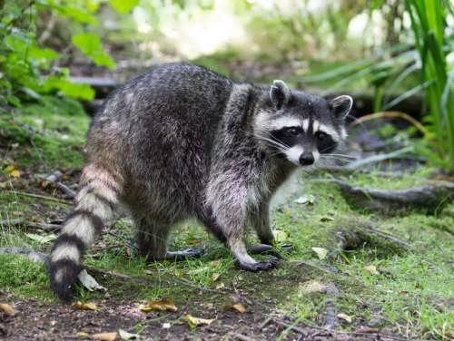 Awesome raccoon