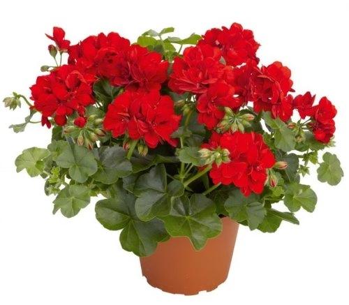 Awesome red geranium