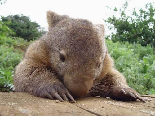 Awesome wombat