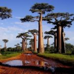 Baobab – Upside Down Tree