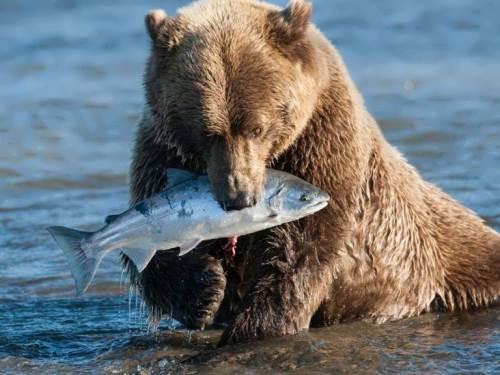 Bear is fishing