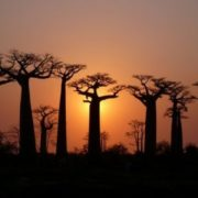 Beautiful baobabs