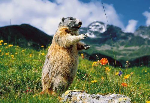 Beautiful groundhog