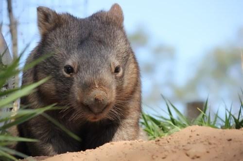 Beautiful wombat