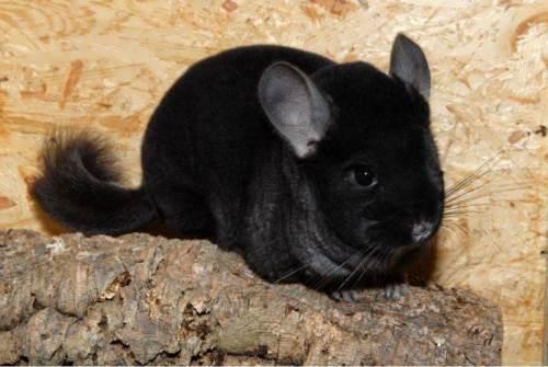 Black chinchilla