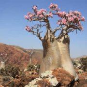 Blooming baobab
