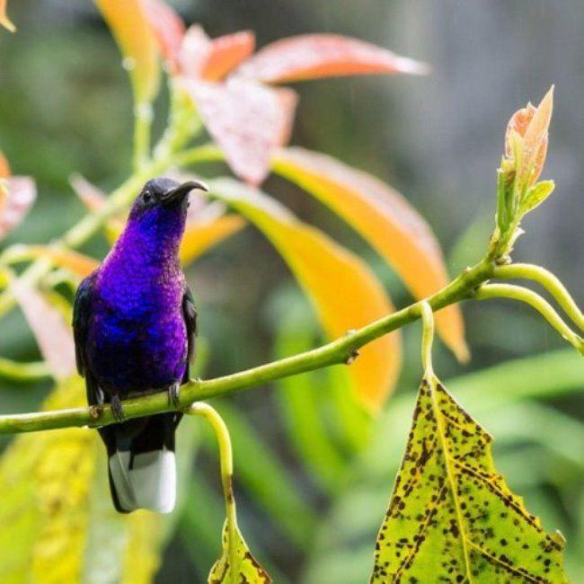 Large hummingbird Violet sabrewing