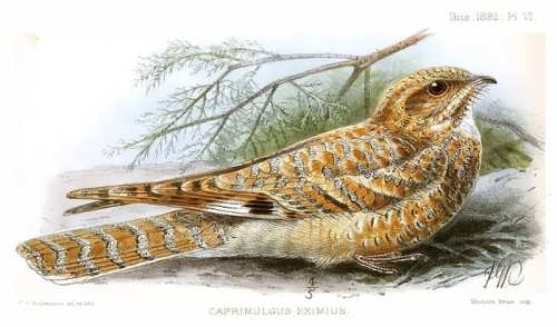 Caprimulgus eximius
