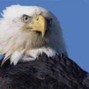 Charming eagle