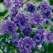 Charming geranium