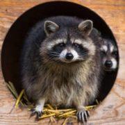 Charming raccoon