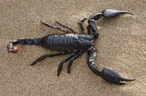 Charming scorpion