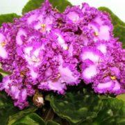 Charming violets