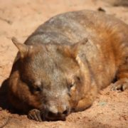 Charming wombat