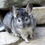 Chinchilla – rodent with soft fur