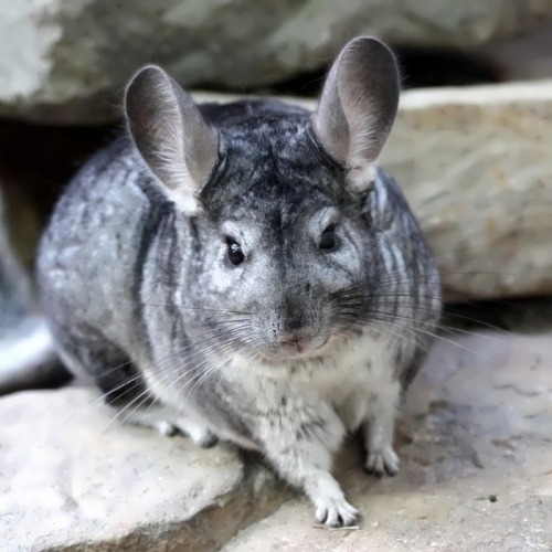 Chinchilla - rodent with soft fur