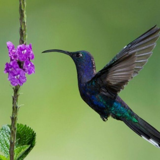 Large hummingbird Violet sabrewing