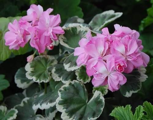 Cute geranium