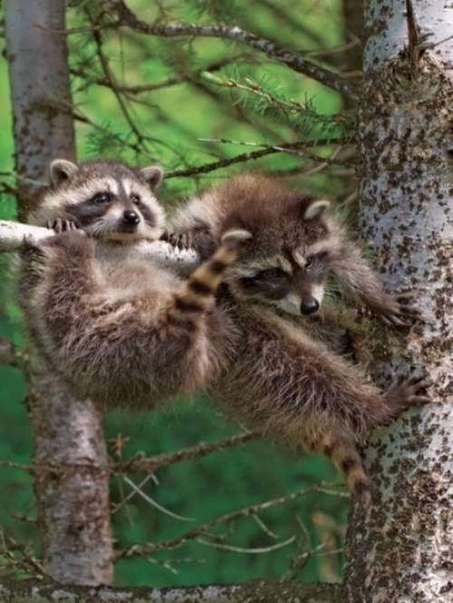 Cute raccoons