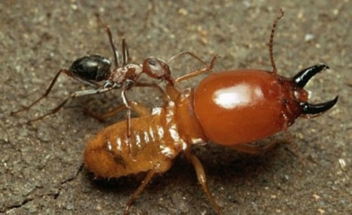Cute termite and ant