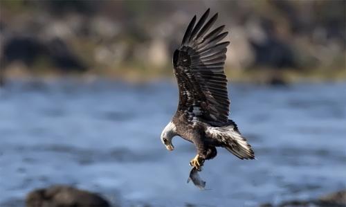 Eagle is fishing