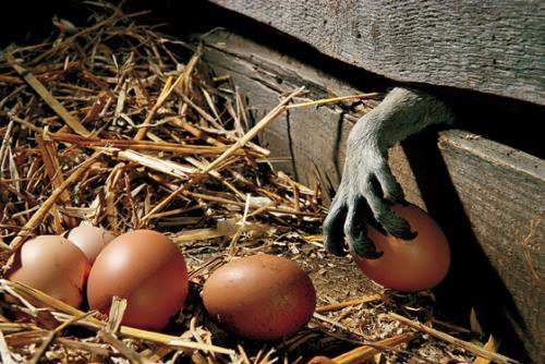 Eggs stealer