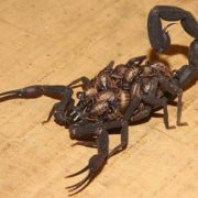 Female scorpion with its babies