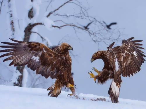 Fight of eagles