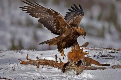 Fox and eagle