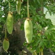 Fruits of baobab