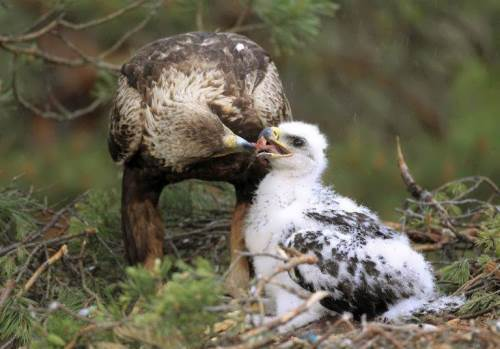 Golden Eagle is feeding chick