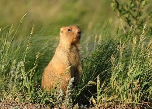 Gorgeous groundhog