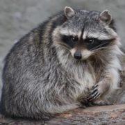 Gorgeous raccoon