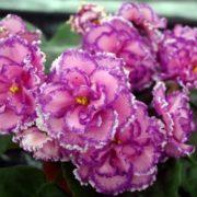 Gorgeous violets