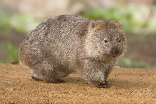 Gorgeous wombat
