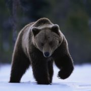 Graceful bear