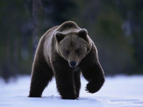 Graceful bear