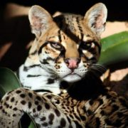 Graceful ocelot