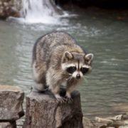 Graceful raccoon