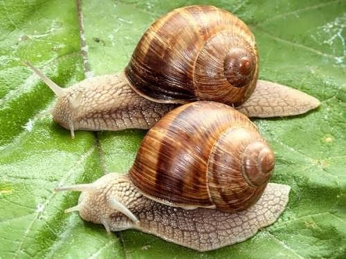 Graceful snails
