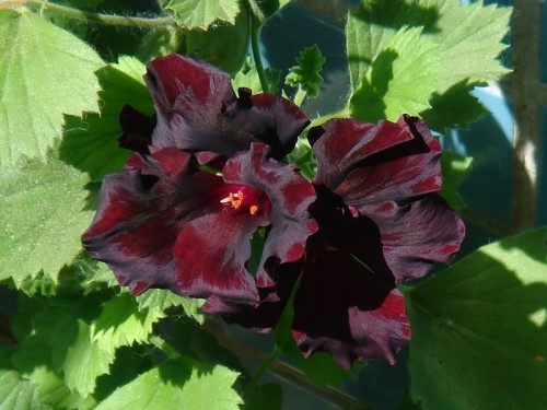 Great geranium